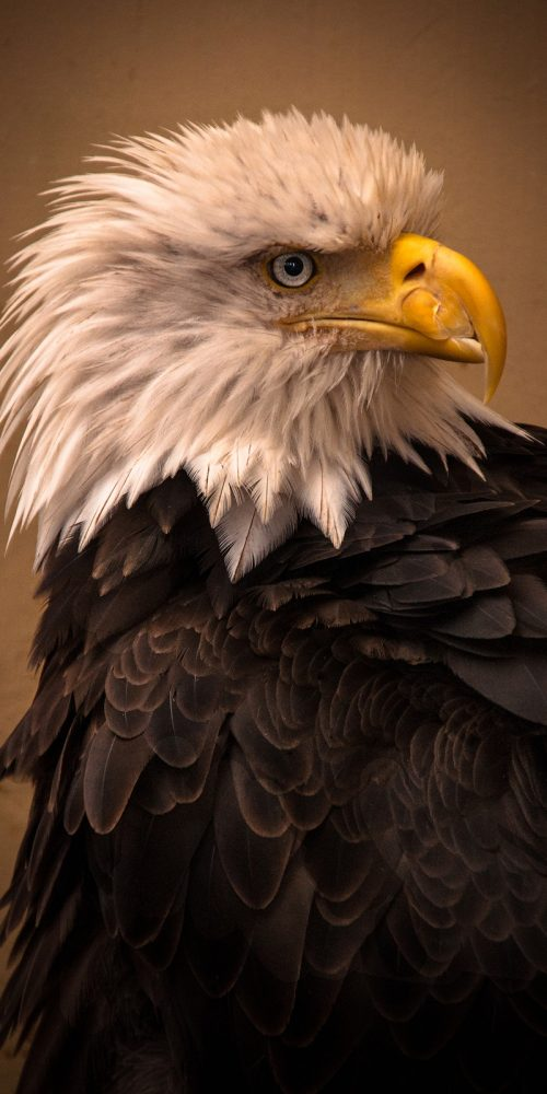 Bald Eagle Alaska Wildlife Photography